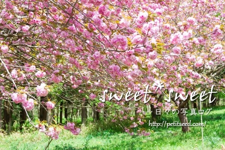 高崎自然の森の八重桜