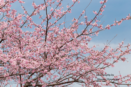 I took these flowers at the Hitachino Mizube Park in Tsukuba on March 18, 2018. This year the cherry trees are blooming early.