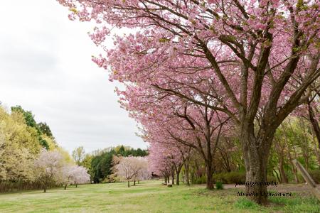 2018年 高崎自然の森 の八重桜
