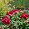 つくば牡丹園 は4/14からオープン-今年は開花が早めで質の良い牡丹が鑑賞できそう