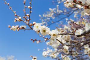 梅園公園の梅の花